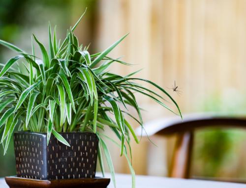 L'ospite invernale più indesiderato: la zanzara in casa