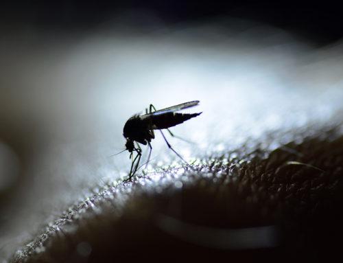 Sotto l'albero, attenzione alla zanzara coreana
