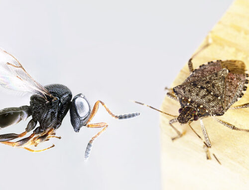 Vespa Samurai VS Cimice Asiatica